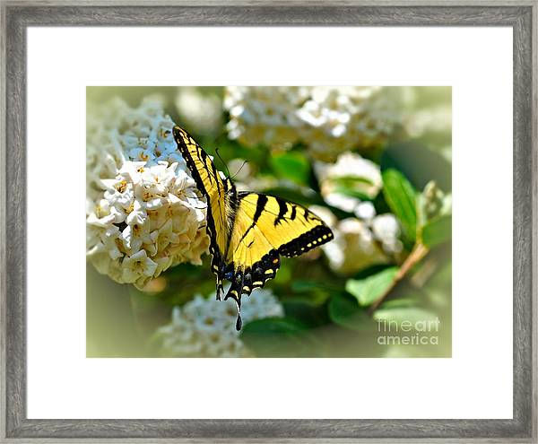 Tiger Swallowtail Framed Print by Elaine Manley