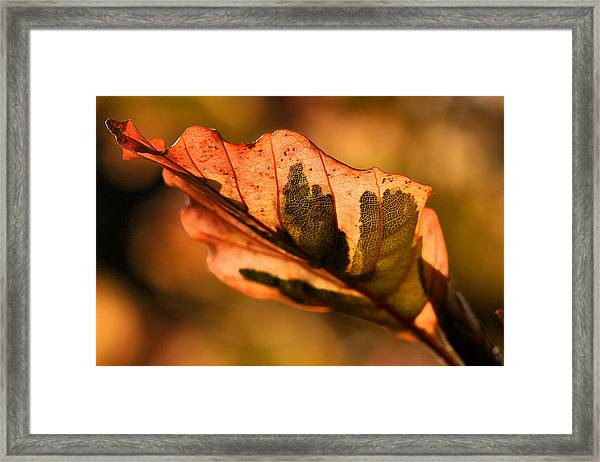 Tri-color Beech In Autumn Framed Print