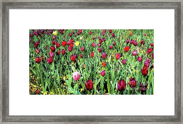 Tulips In Bloom Framed Print by D Davila
