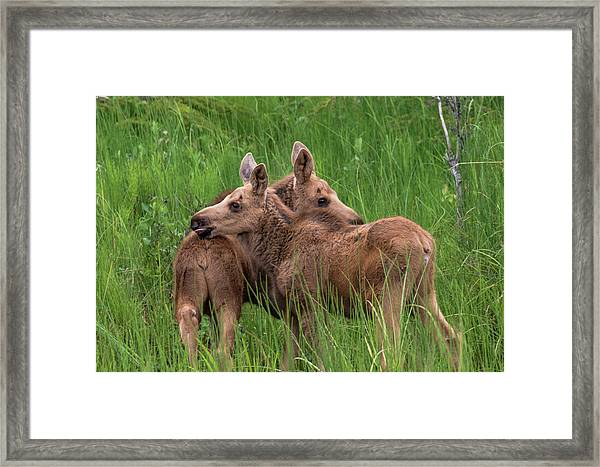 Twin Baby Moose Framed Print