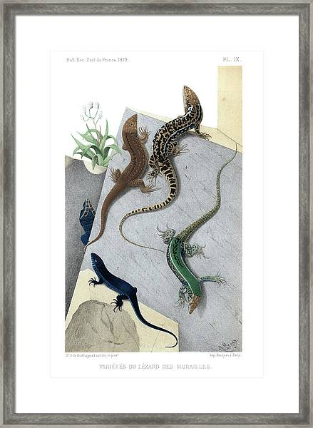 Framed Print featuring the drawing Varieties Of Wall Lizard by Jacques von Bedriaga