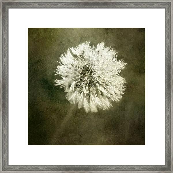 Water Drops On Dandelion Flower Framed Print
