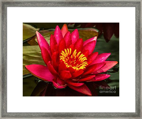 Water Lily 15-6 Framed Print