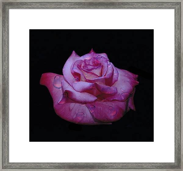 Watered Red Rose Framed Print