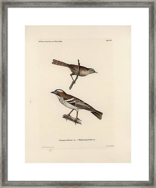 Framed Print featuring the drawing White-browed Sparrow-weaver And Grass Or Bush Warbler by J D L Franz Wagner