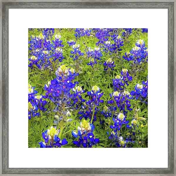 Wild Bluebonnets Blooming Framed Print