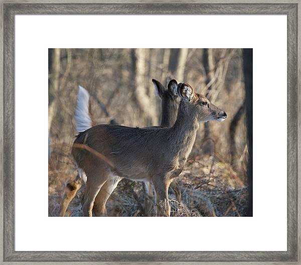 Wild Deer Framed Print