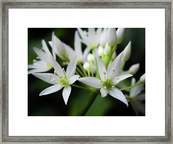 Framed Print featuring the photograph Wild Garlic by Nick Bywater