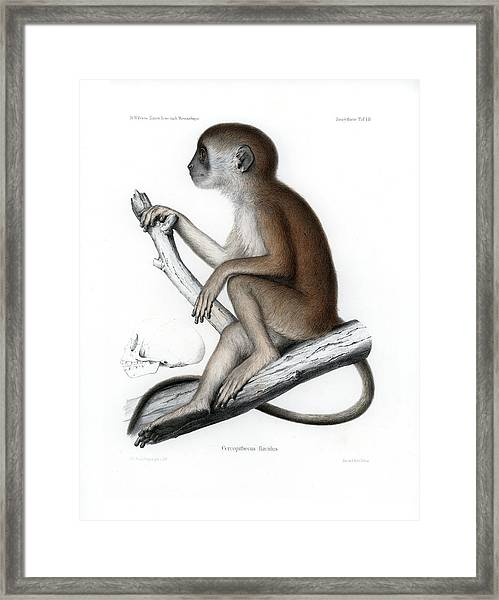 Framed Print featuring the drawing Yellow Baboon, Papio Cynocephalus by J D L Franz Wagner