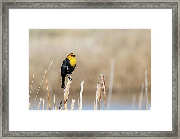 Yellow Headed Blackbird Framed Print