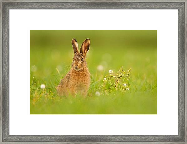 Young Hare In Meadow Framed Print