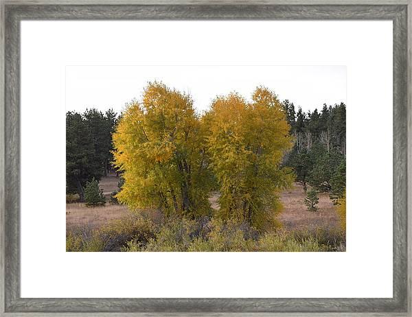 Aspen Trees In The Fall Co Framed Print