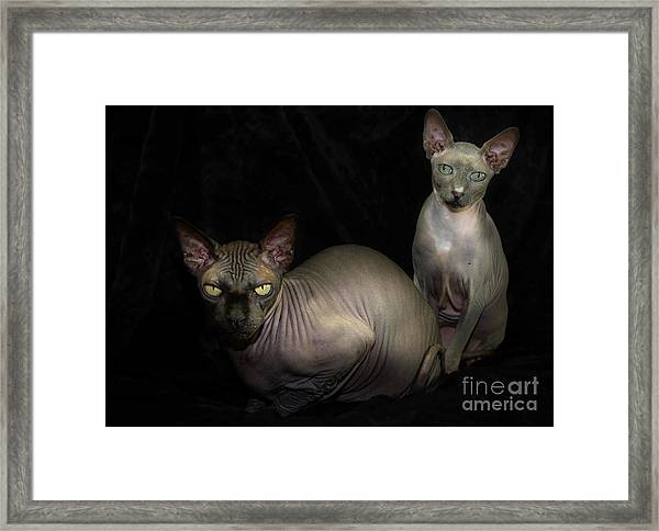 Framed Print featuring the photograph Sphynx Cat Portrait by Glenda Wright