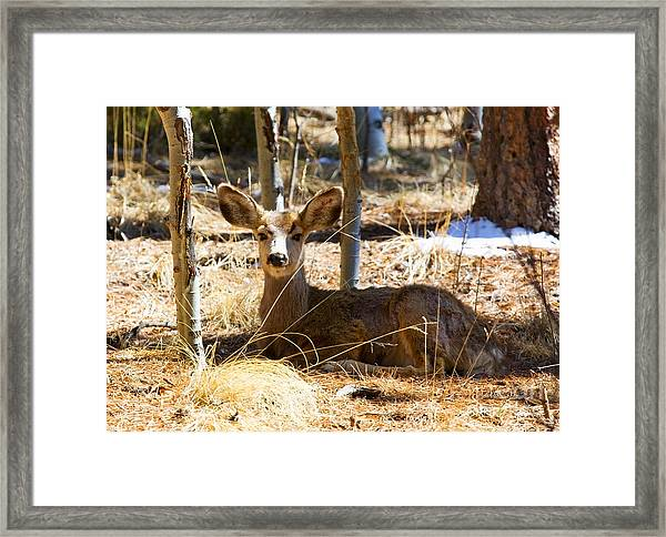 Mule Deer In The Pike National Forest Framed Print