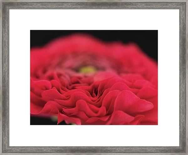 Ranunculus In Bloom Framed Print by Anne Geddes