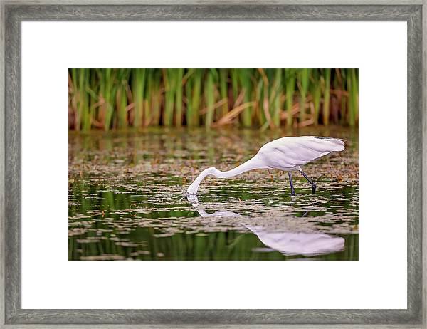White, Great Egret Framed Print