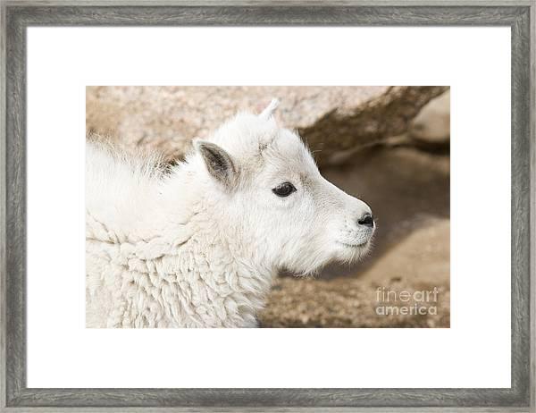 Baby Mountain Goats On Mount Evans Framed Print