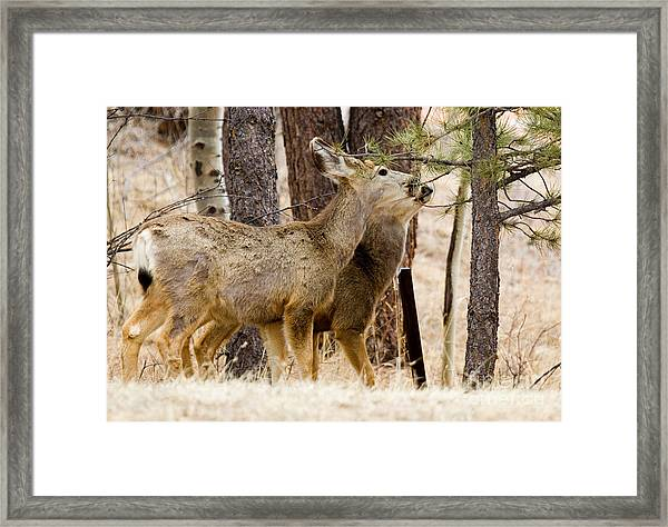 Mule Deer In The Pike National Forest Of Colorado Framed Print