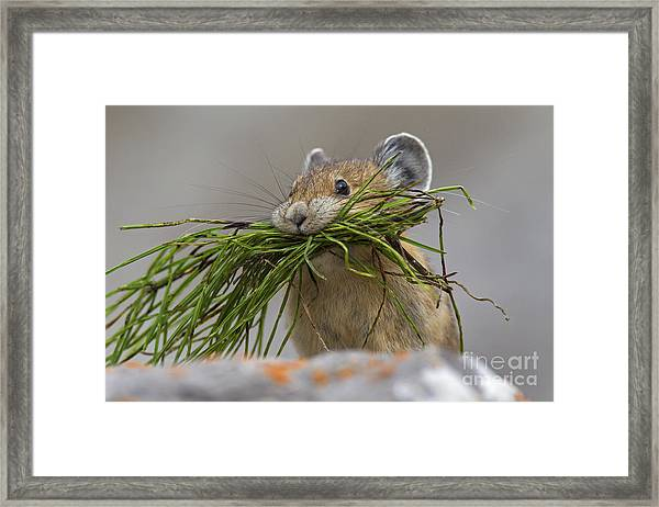 Pika With A Mouthful  Framed Print