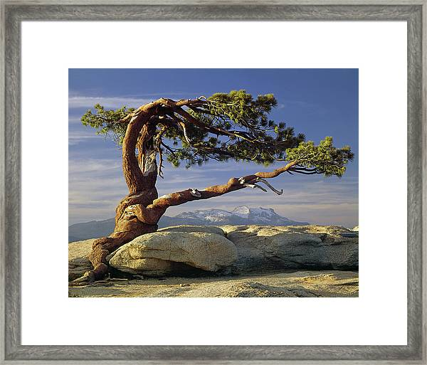 1m6701 Historic Jeffrey Pine Sentinel Dome Yosemite Framed Print
