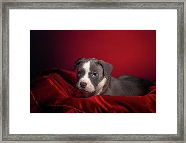 American Pitbull Puppy Framed Print
