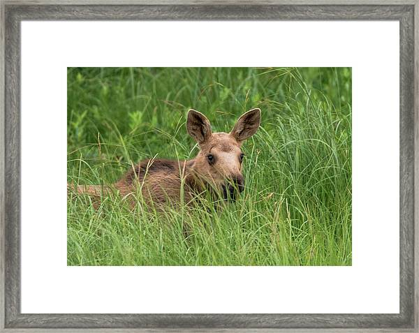 Baby Moose In The Grass Framed Print