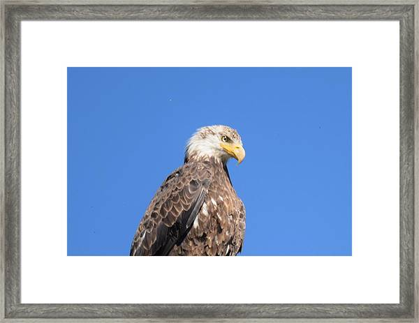 Bald Eagle Juvenile Perched Framed Print
