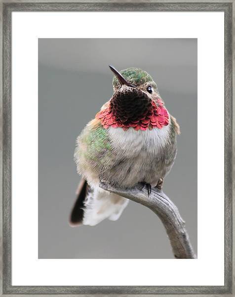 Broad-tailed Hummingbird Framed Print
