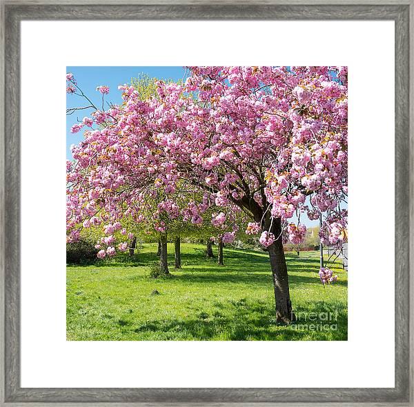 Cherry Blossom Tree Framed Print