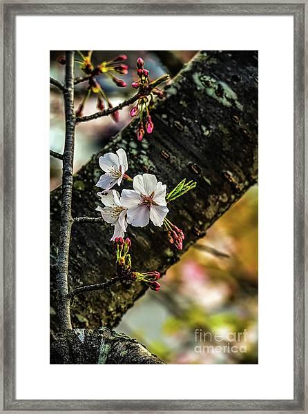 Cherry Tree Blossoms Framed Print by Elijah Knight