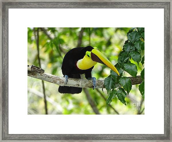 Chestnut-mandibled Toucan Framed Print