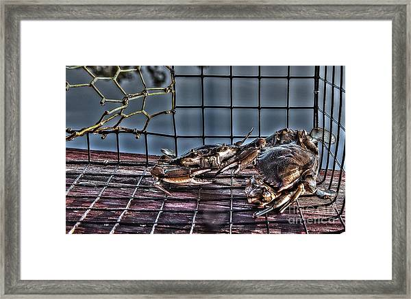 2 Crabs In Trap Framed Print