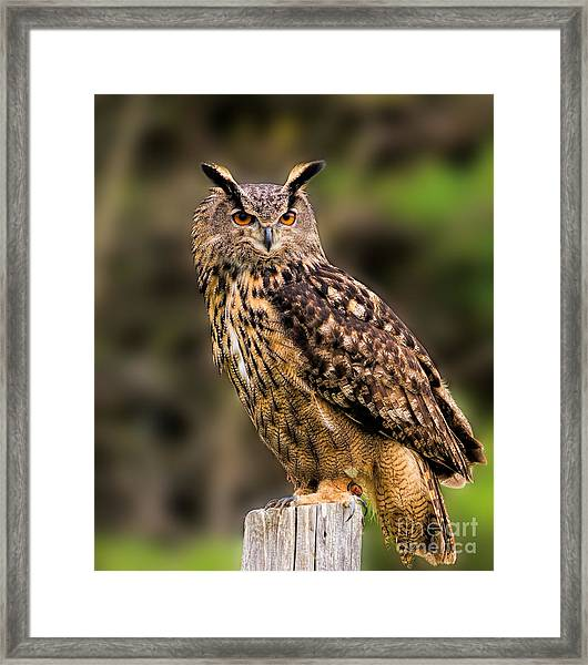 Eurasian Eagle Owl Perched On A Post Framed Print