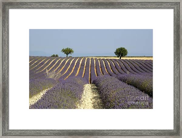 Field Of Lavender. Provence Framed Print