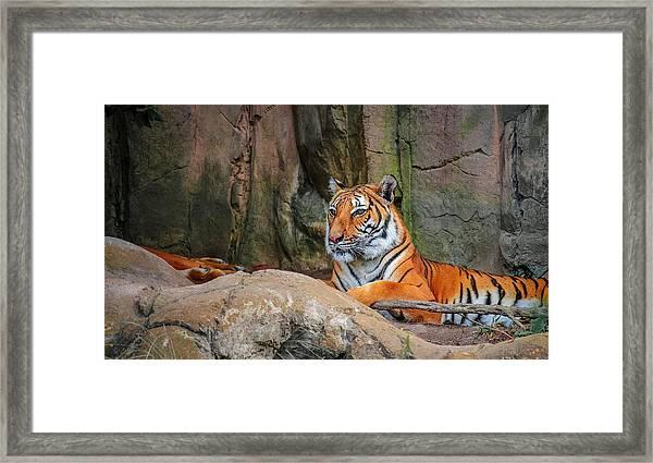 Fort Worth Zoo Tiger Framed Print