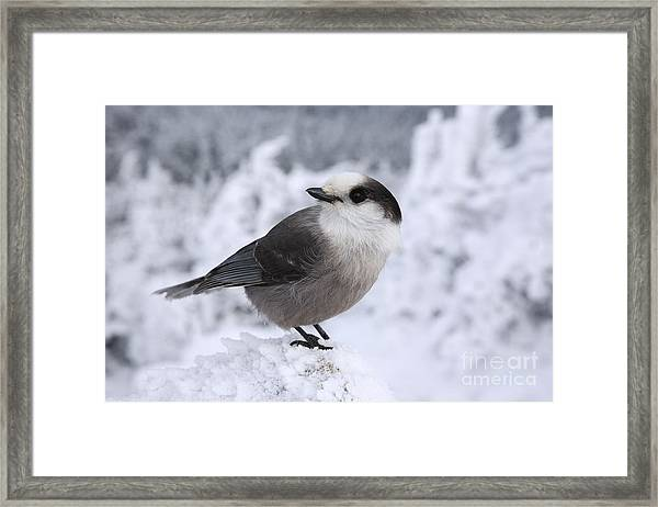 Gray Jay - White Mountains New Hampshire Usa Framed Print
