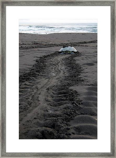 Framed Print featuring the photograph Green Sea Turtle Returning To Sea by Breck Bartholomew