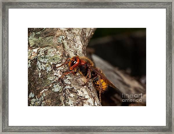 Hornet Vespa Crabo Framed Print