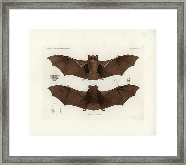 Framed Print featuring the drawing Lander's Horseshoe Bat, Rhinolophus Landeri by C H Haas