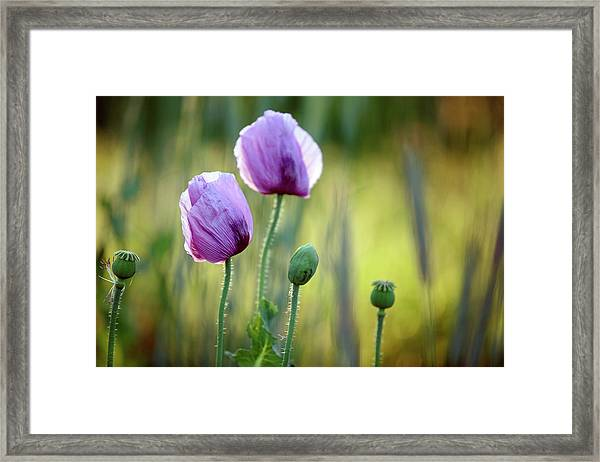 Lilac Poppy Flowers Framed Print