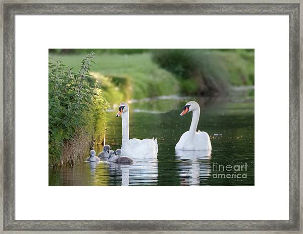 Mute Swan - Cygnus Olor - Adult And Cute Fluffy Baby Cygnets, Swim Framed Print by Paul Farnfield