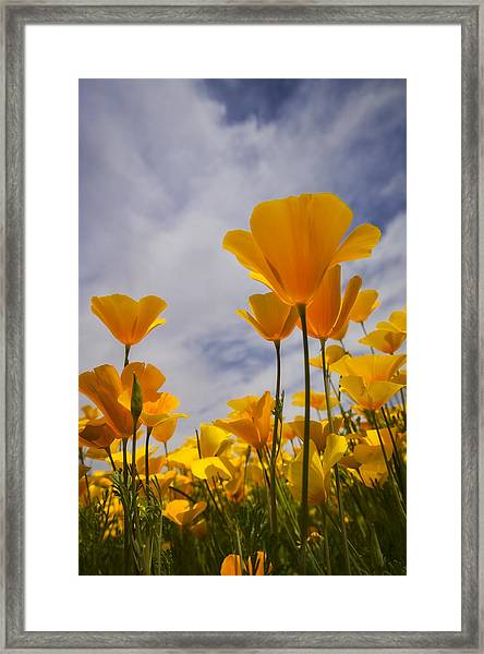 Springtime Poppies  Framed Print
