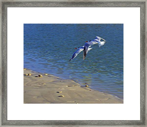 2 Terns In Flight Framed Print
