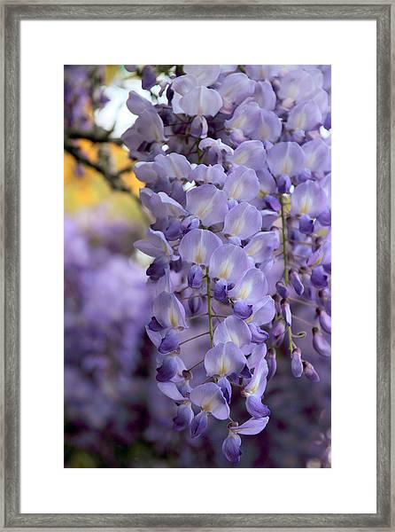 Wisteria Blossom Framed Print