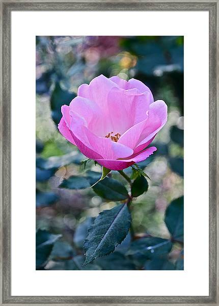 2015 After The Frost At The Garden Pink  Rose Framed Print