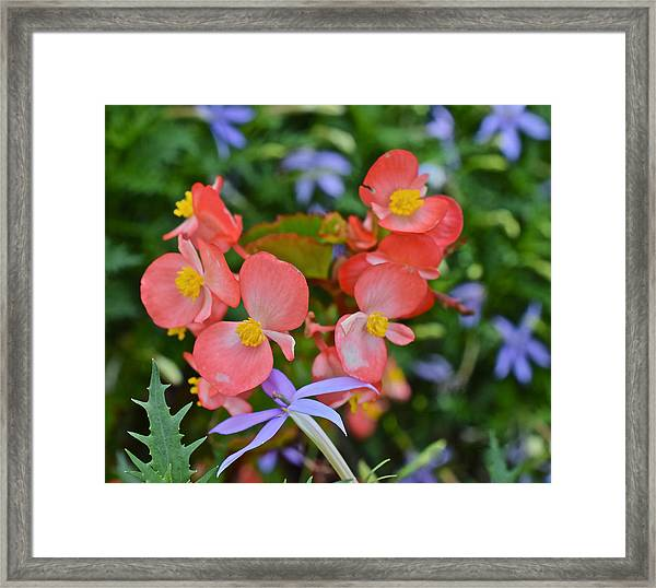 2015 Mid September At The Garden Begonias 2 Framed Print
