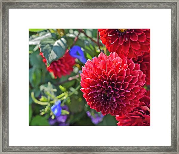 2015 Mid September At The Garden Dahlias 2 Framed Print