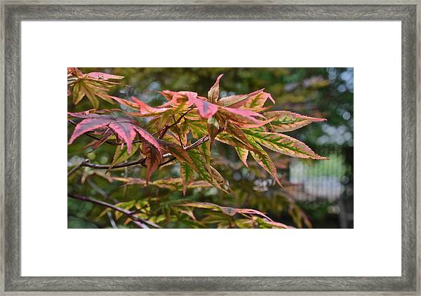 2015 Mid-september At The Garden Japanese Maple 1 Framed Print