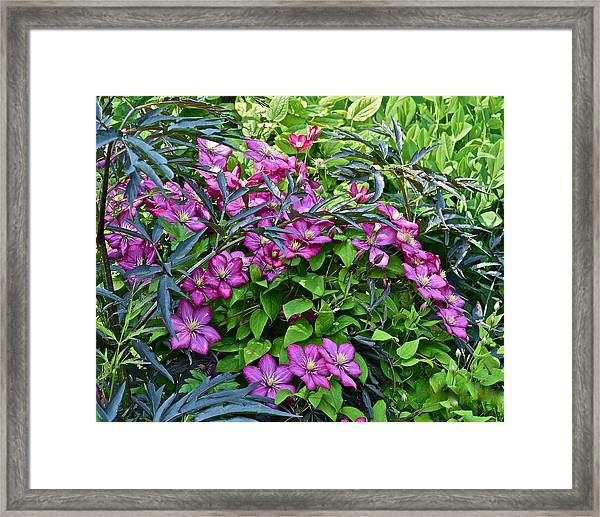 2015 Summer At The Garden Beautiful Clematis Framed Print