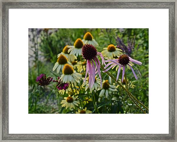 2015 Summer At The Garden Coneflowers Framed Print